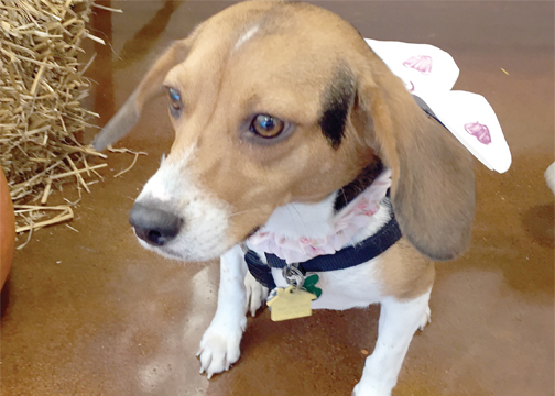 Marrow, a 1-year-old Beagle, dressed up in a fairy costume by her owner Alice.